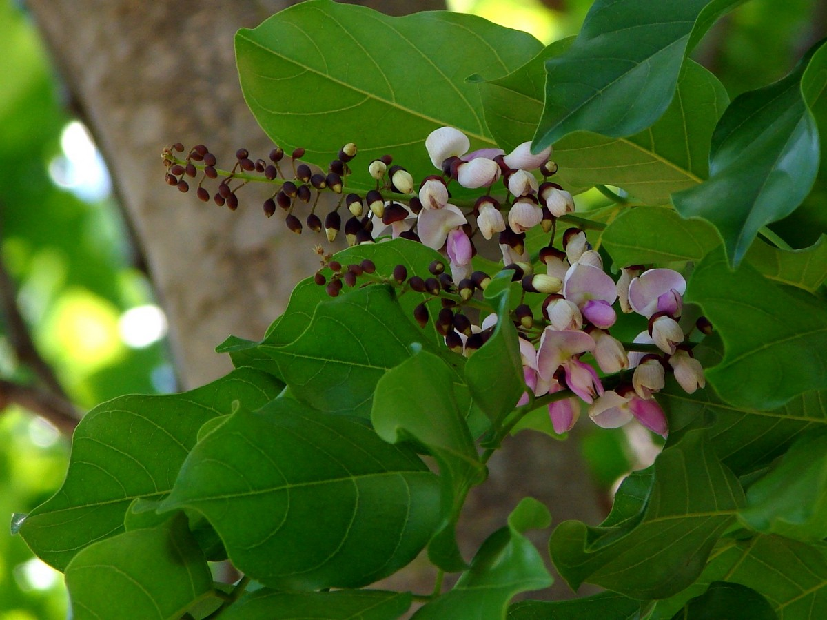 Millettia Pinnata (Hongé tree)
