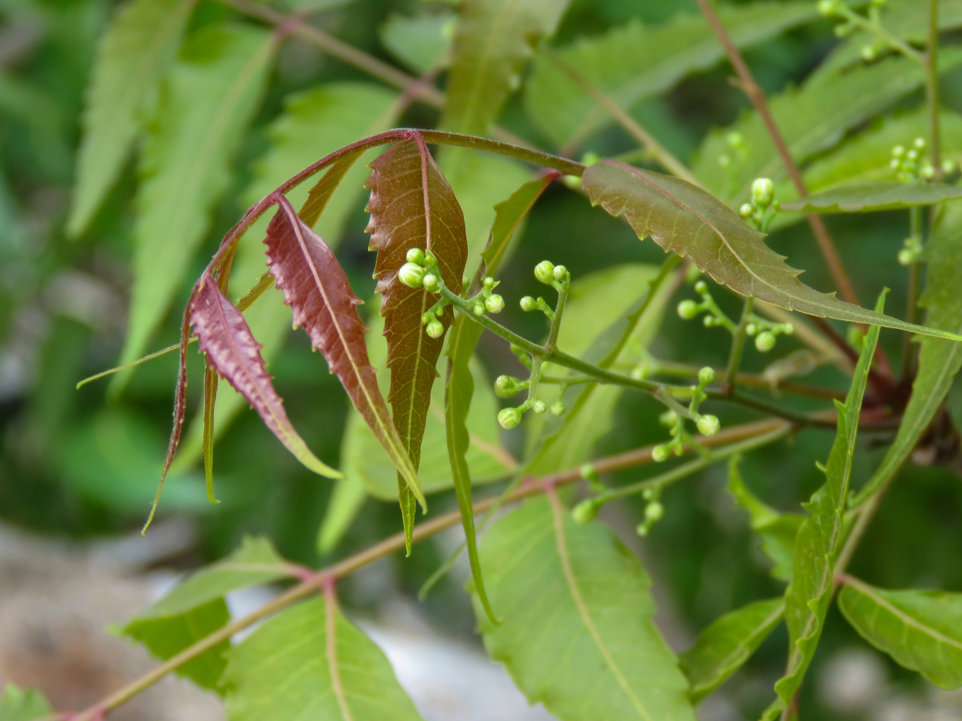 Azadirachta indica or Margosa (Neem tree)