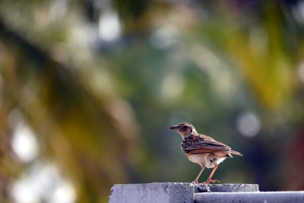 Sparrow in Bengaluru